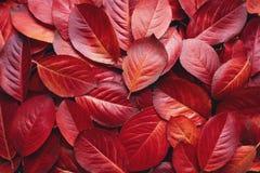 Priorità bassa rossa dei fogli di autunno Fotografia Stock Libera da Diritti