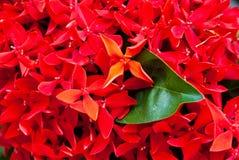 Priorità bassa rossa del fiore dell'ago in Tailandia. Immagini Stock Libere da Diritti