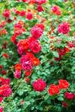 Priorità bassa rossa delle rose immagine stock