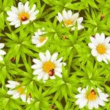Priorità bassa senza giunte: camomiles e ladybugs Fotografia Stock