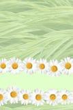 Priorità bassa stagionale della margherita e dell'erba di estate Immagini Stock Libere da Diritti