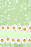 Priorità bassa stagionale della margherita e dell'erba di estate Fotografia Stock