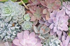 Priorità bassa succulente della pianta Fotografia Stock Libera da Diritti