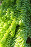 Priorità bassa succulente verde Fotografia Stock Libera da Diritti