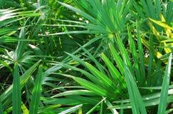 Priorità bassa Sunlit della fronda della palma Fotografia Stock Libera da Diritti
