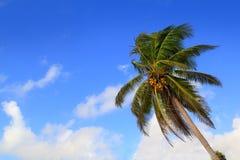 Priorità bassa tipica tropicale delle palme della noce di cocco Fotografie Stock Libere da Diritti