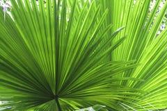 Priorità bassa tropicale di struttura di verde del particolare del foglio Fotografie Stock Libere da Diritti