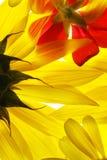 Priorità bassa variopinta dei fiori Immagini Stock Libere da Diritti