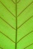 Priorità bassa verde del foglio Fotografia Stock