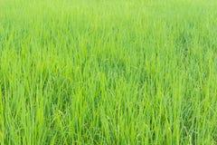 Priorità bassa verde del giacimento del riso Fotografia Stock