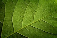 Priorità bassa verde del primo piano del foglio Fotografia Stock