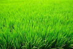 Priorità bassa verde del riso Fotografia Stock