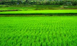 Priorità bassa verde del riso Fotografie Stock Libere da Diritti