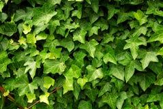 Priorità bassa verde dell'edera Fotografia Stock Libera da Diritti