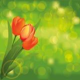 Priorità bassa verde della natura con i tulipani Fotografie Stock