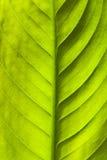 Priorità bassa verde della natura del foglio Immagini Stock Libere da Diritti