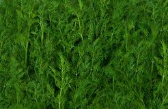 Priorità bassa verde fresca del finocchio Immagine Stock