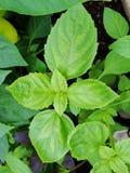 Priorità bassa verde fresca dell'erba del basilico, vista superiore Pianta del basilico che cresce in un giardino Pianta del basi Immagini Stock Libere da Diritti