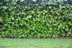 Priorità bassa verde naturale L'edera lascia il pavimento dell'erba e della parete Copi lo spazio fotografie stock