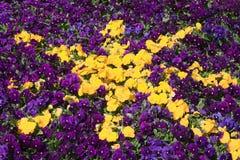 Priorità bassa viola e gialla del fiore della stella della petunia Fotografie Stock Libere da Diritti