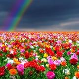 Priorità bassa dei fiori e del Rainbow Immagine Stock
