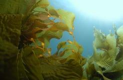 Priorità bassa del kelp Immagini Stock Libere da Diritti