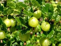 Priorità bassa dell'uva spina Immagine Stock