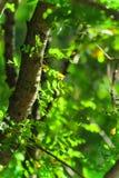 Priorità bassa di estate con i fogli verdi Immagini Stock