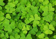Priorità bassa irlandese del trifoglio dell'acetosella Immagine Stock
