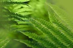 Priorità bassa verde con i fogli della felce Immagini Stock