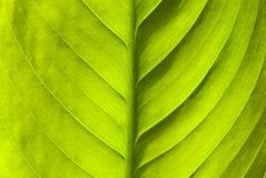 Priorità bassa verde della natura del foglio Fotografie Stock Libere da Diritti