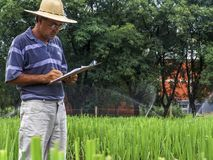 Researcher in plots with sugar cane. Priracicaba, Sao Paulo, Brazil, January 12, 2005. Researcher analyzes plots with sugarcane experiments within the Genetic Royalty Free Stock Photo