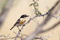 Pririt Batis in Acacia tree Royalty Free Stock Photo