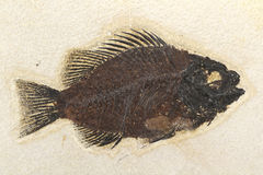 Priscacara-Fischfossil Stockfotos
