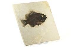 Priscacara-Fischfossil Lizenzfreie Stockfotografie