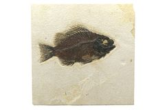 Priscacara fish fossil Stock Image