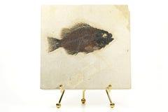 Priscacara fiskfossil Royaltyfri Bild