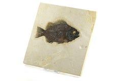 Priscacara fiskfossil Arkivbilder