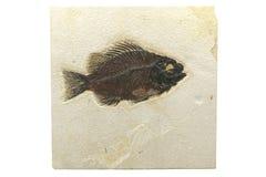 Priscacara fiskfossil Fotografering för Bildbyråer