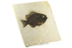 Priscacara fiskfossil Royaltyfri Fotografi
