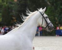 Prise d'éleveur un cheval avec le frein sur un concours hippique Photo stock