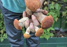 Prise de main d'homme les champignons Images libres de droits