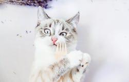 Prises blanches de chat dans des pattes une fourchette en bois d'eco avec le visage drôle image libre de droits