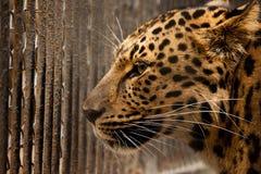 Prisión para el leopardo Fotografía de archivo