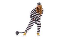 Prisioneiro em uniforme listrado Imagens de Stock Royalty Free