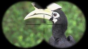 Prismáticos a través vistos albirostris de varios colores orientales de los anthracoceros del hornbill A través vistos prismático