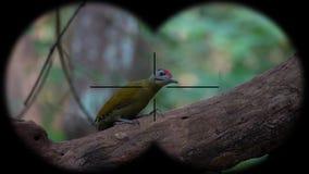 prismáticos a través vistos canus Gris-dirigidos del picus de la pulsación de corriente r