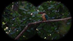 prismáticos a través vistos capensis Cigüeña-cargados en cuenta del pelargopsis del pájaro del martín pescador r