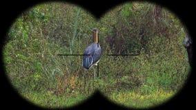 Prismáticos a través vistos javanicus de Lesser Adjutant Stork Bird Leptoptilos A través vistos prismáticos Observación de pájaro