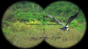 Prismáticos a través vistos javanicus de Lesser Adjutant Stork Bird Leptoptilos r